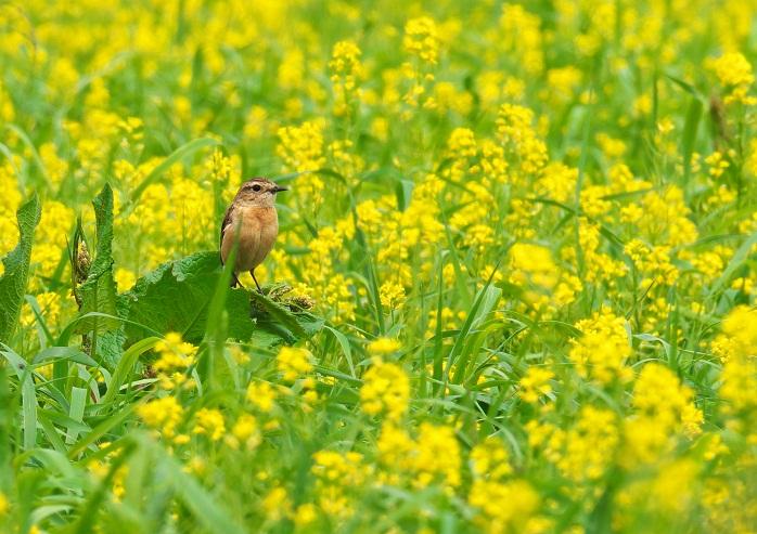 菜の花と小鳥_16070578_M