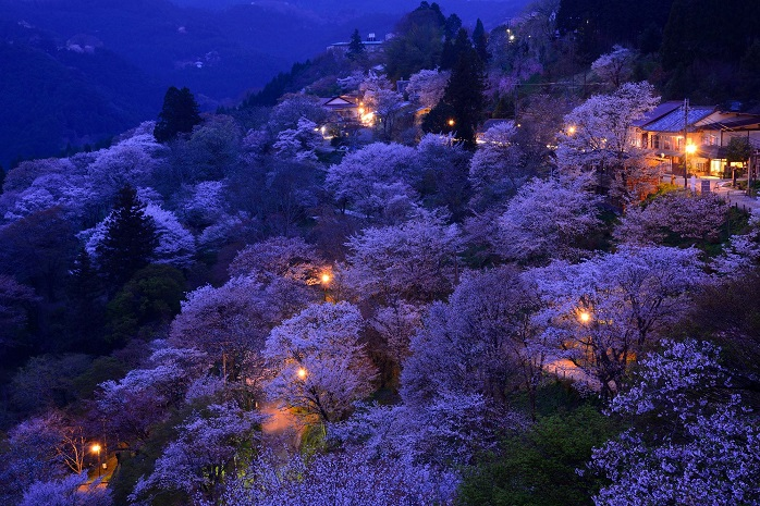 奈良吉野山の夜桜の写真