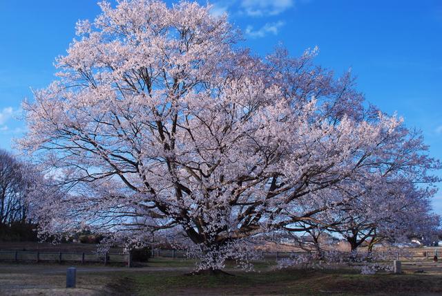 日本三大桜がいっぺんに見られる天平の丘公園(栃木)