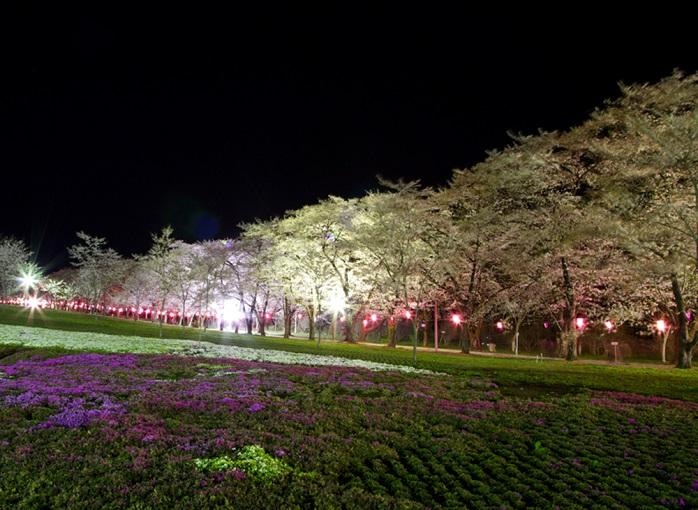 赤城南面千本桜まつり(群馬)の夜桜風景