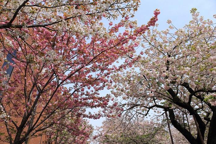 大阪造幣局の桜・花見の写真