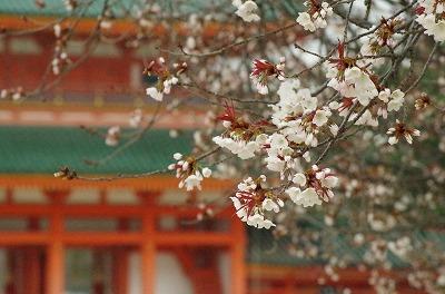 京都平安神宮の桜・花見の写真