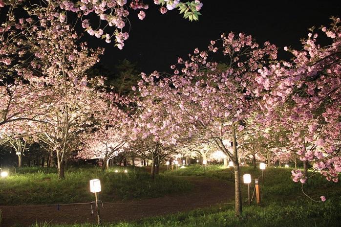 ソメイヨシノや枝垂れ桜約3000本の長瀞の桜(埼玉)