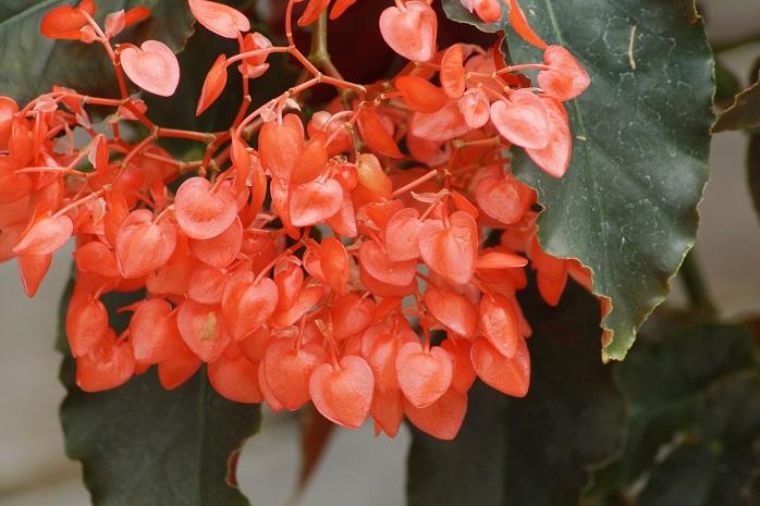 花びらがハート形のベゴニア