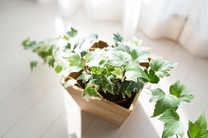 観葉植物のアイビー