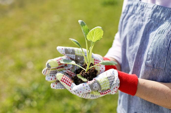家庭菜園で植える野菜の苗