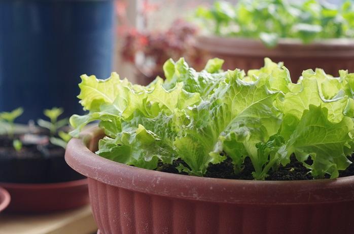 家庭菜園のリーフレタス