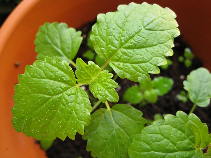 鉢植えのレモンバーム