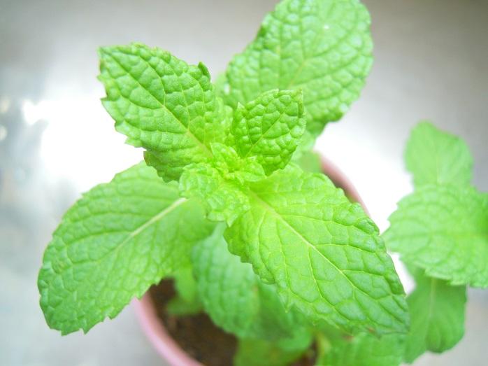 鉢植えのミント