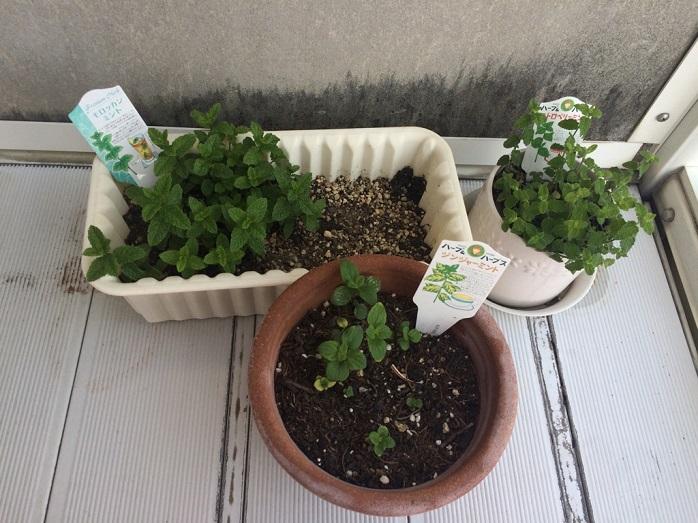 鉢に植え替えられているミント