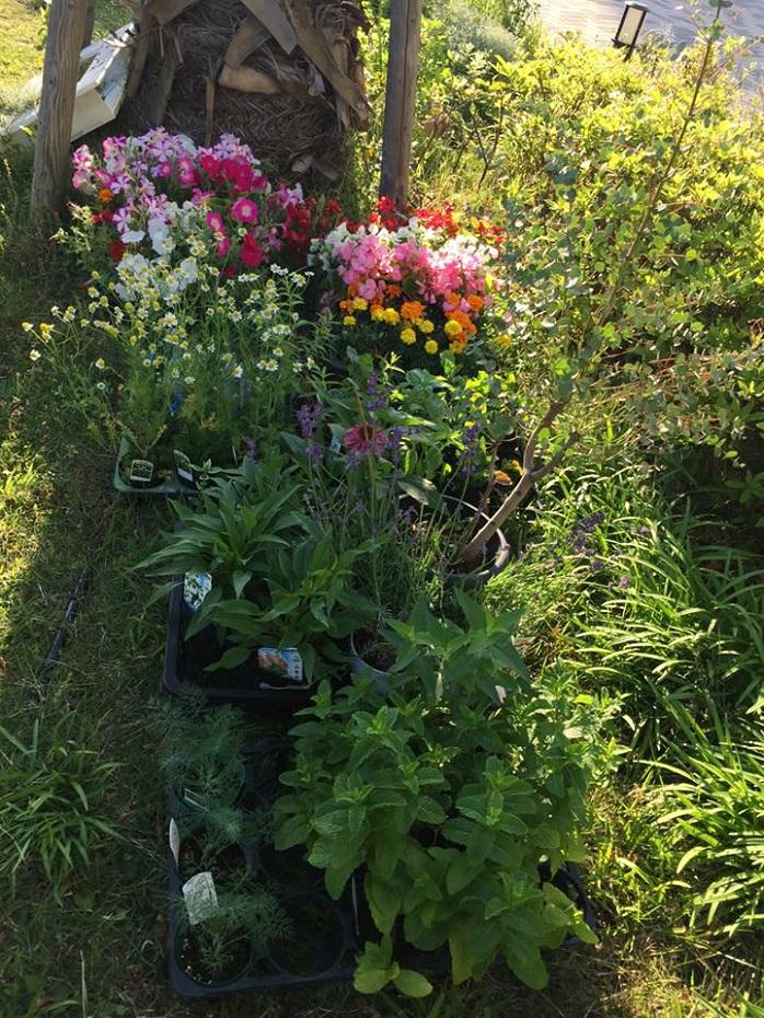 ミントが植えられている庭