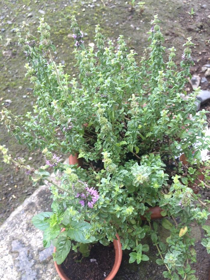 鉢植えのミントの写真