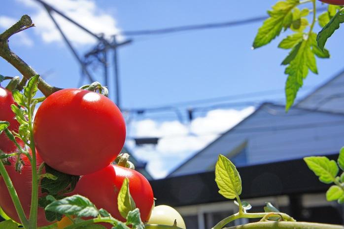 家庭菜園で生き生きと育つミニトマト