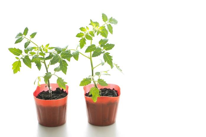 ミニトマト・プチトマトの苗