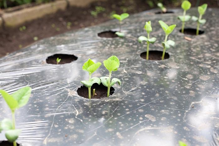 マルチで泥除けされている枝豆の苗