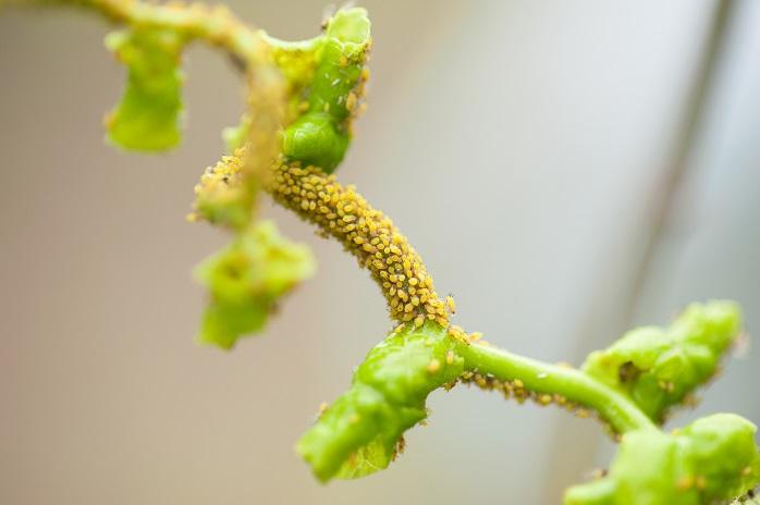 枝と葉に群がる吸汁外注