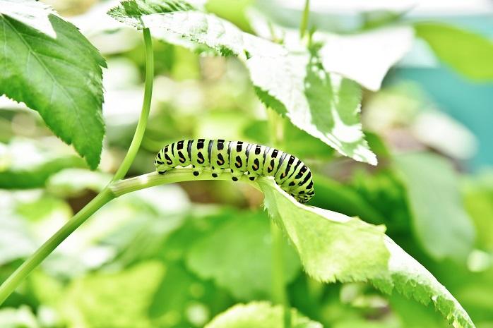 葉を食べるイモムシ